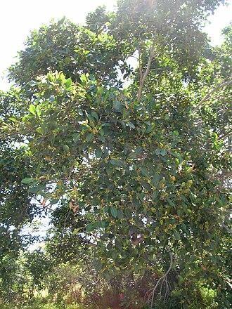 Ficus microcarpa - Image: Starr 050516 1267 Ficus microcarpa