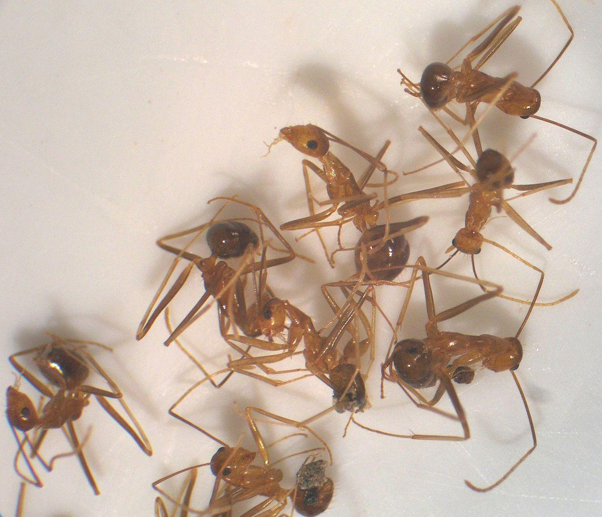 Yellow crazy ant   Wikipedia