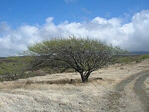 Prosopis pallida - Image: Starr 050924 4469 Prosopis pallida