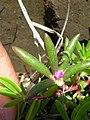 Starr 060405-9092 Portulaca pilosa.jpg