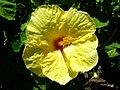 Starr 060820-8623 Hibiscus rosa-sinensis.jpg