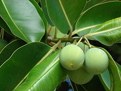meaning of calophyllum