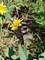 Starr 070215-4573 Verbesina encelioides.jpg