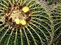 Starr 070320-5805 Echinocactus grusonii.jpg