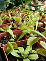 Starr 070906-8686 Dionaea muscipula.jpg
