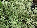 Starr 080117-1545 Thymus citriodorus.jpg