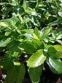 Starr 080117-1904 Gardenia brighamii.jpg