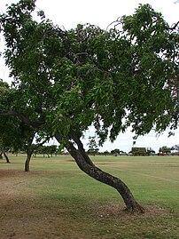 Millettia pinnata - Wikipedia
