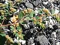 Starr 080602-5403 Chamaesyce maculata.jpg