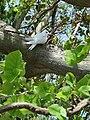 Starr 080604-6180 Erythrina variegata.jpg