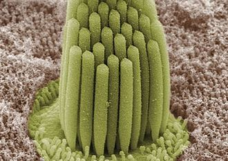 Hair cell - Image: Stereocilia of frog inner ear.01