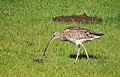 Storspov Eurasian Curlew (14519415334).jpg
