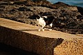 Stray Cat @ Kakaako Park (5608039028).jpg