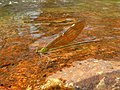 Stream Glory Female from Valparai Anamalai hills P1120030.JPG