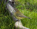 Striated Thornbill - Little Desert NP - Victoria S4E4692 (22200842890).jpg