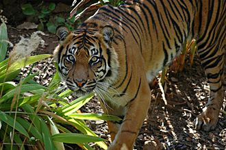 Adelaide Zoo - One of the Sumatran tigers at Adelaide Zoo