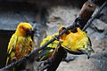 Sun Conures - at play.jpg