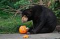 Sun bear treats (30675991305).jpg