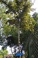 Sundari tree (23844140499).jpg