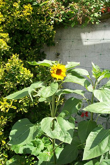 English: Sunflower in suburban garden, East An...