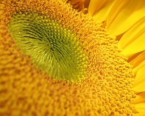 English: Sunflower