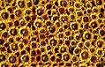 Sunflowers (34186124411).jpg