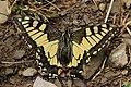Swallowtail - Papilio machaon (29425284427).jpg