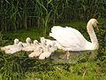 Swan with nine cygnets 2.jpg