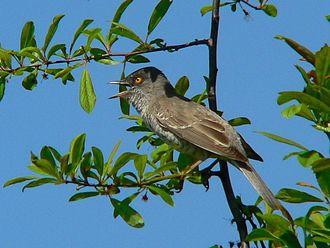 Barred warbler - Adult male, Poland
