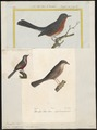 Sylvia undata - 1700-1880 - Print - Iconographia Zoologica - Special Collections University of Amsterdam - UBA01 IZ16200137.tif