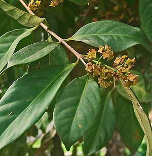 Bay leaf - Indonesian bay leaf Syzygium polyanthum