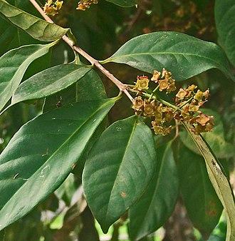 Bay leaf - Indonesian bay leaf Syzygium polyanthum