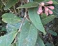 Syzygium Munronii 02.JPG