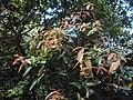 Syzygium mundakam 04.JPG
