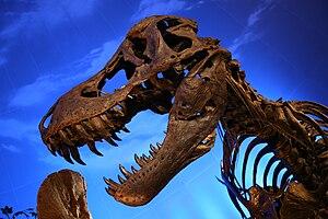 Cast of a Tyrannosaurus Rex skull (BHI 3303, &...