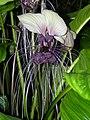 Tacca integrifolia2163256277.jpg