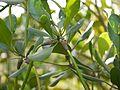Tagal Mangrove (5386205883).jpg
