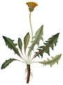 Taraxacum palustre, Flora Danica 1708.png