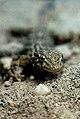 Tarentola mauritanica fascircularis 2.jpg