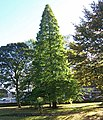 Taxodium Distichum, St. Lawrence's Churchyard - geograph.org.uk - 587577.jpg