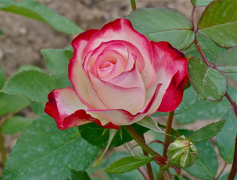 File:Tea rose hybrid and bud.JPG