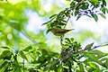 Tennessee warbler (27738282258).jpg