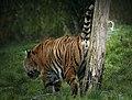 Territorial Tiger (45603263905).jpg