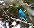 Tersina viridis male.jpg