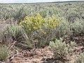 Tetradymia spinosa (3765110205).jpg