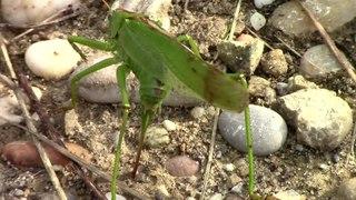 File:Tettigonia viridissima ovipositor.webm