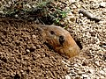 Texas Canyon - Botta's Pocket Gopher 1.jpg