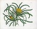 The Botanical Magazine. Pl 1582. Long Leaved Dryandra.jpg