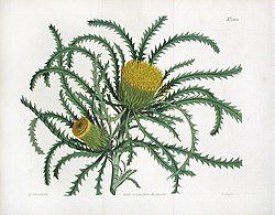 The Botanical Magazine. Pl 1582. Long Leaved Dryandra.jpg