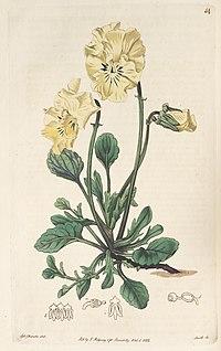 The Botanical register (Plate 54) BHL8435.jpg